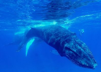 snorkeling with humpback