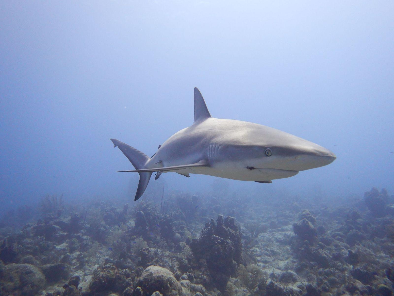 Shark TCI
